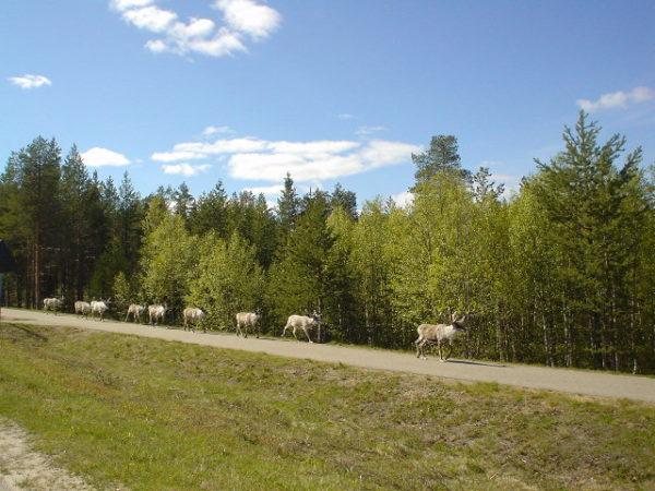 Défilé de rennes en Finlande dans une balade moto