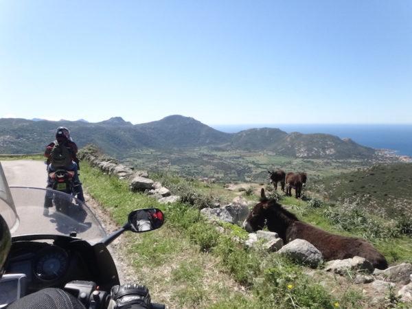 moto sur une route corse avec des ânes