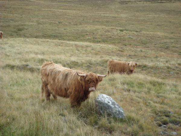 Boeuf des Highlands